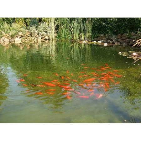 Пруды для карпов Кои, водоемы для рыбы
